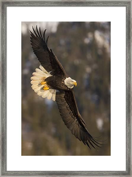 Banking Bald Eagle Framed Print
