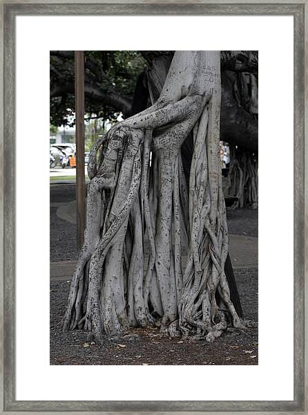 Banyan Tree, Maui Framed Print
