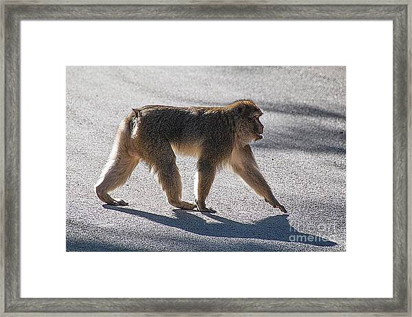 Barbary Macaque, Morocco Framed Print by Jim Wright