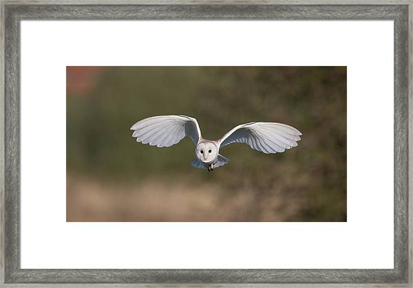 Barn Owl Approaching Framed Print