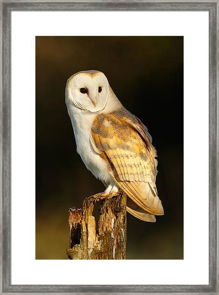 Barn Owl At Dawn Framed Print