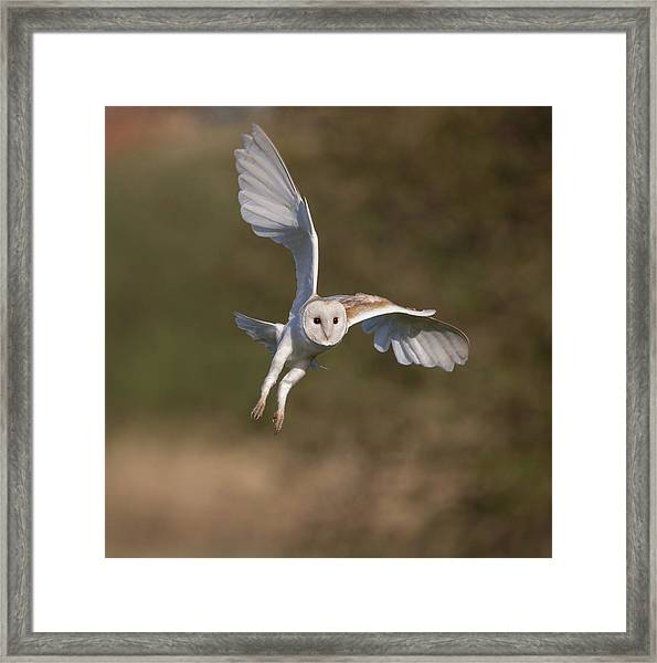 Barn Owl Cornering Framed Print