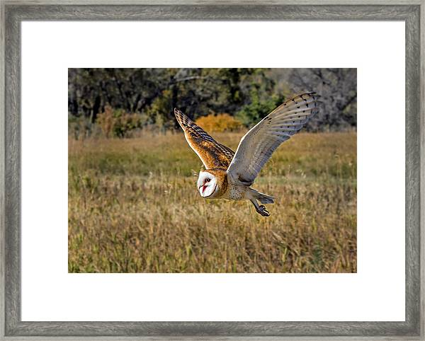 Barn Owl Flight 6 Framed Print