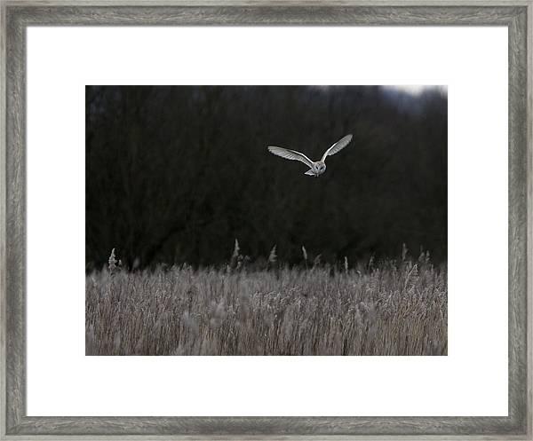 Barn Owl Hunting At Dusk Framed Print