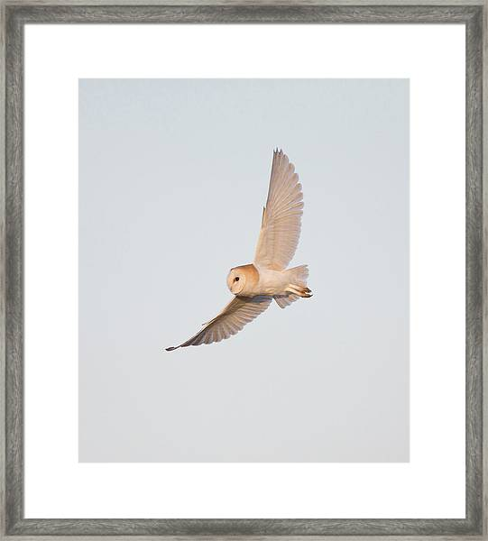 Barn Owl Hunting Framed Print