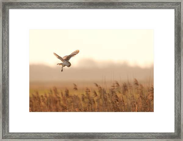Barn Owl Hunting Framed Print
