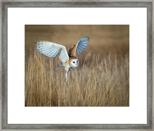 Barn Owl In Grass Framed Print