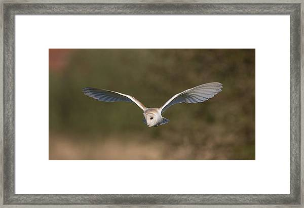 Barn Owl Quartering Framed Print