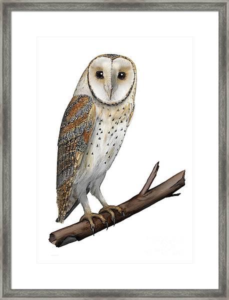 Barn Owl Screech Owl Tyto Alba - Effraie Des Clochers- Lechuza Comun- Tornuggla - Nationalpark Eifel Framed Print