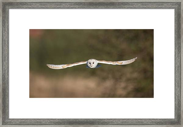 Barn Owl Wingspan Framed Print