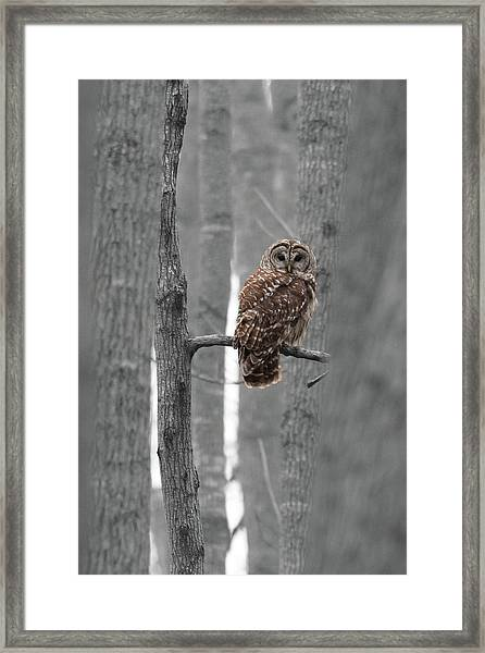 Barred Owl In Winter Woods #1 Framed Print
