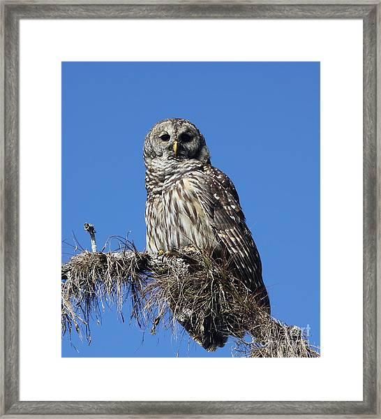 Barred Owl Portrait Framed Print