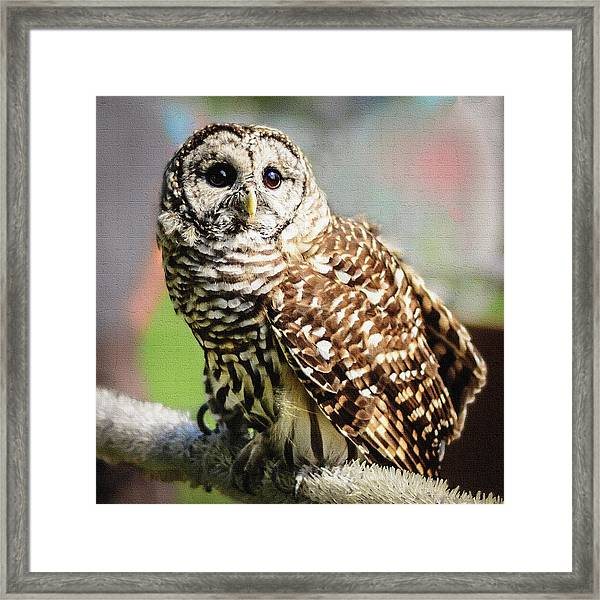 Barred Owl Framed Print