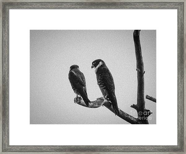 Bat Falcon In Black And White Framed Print