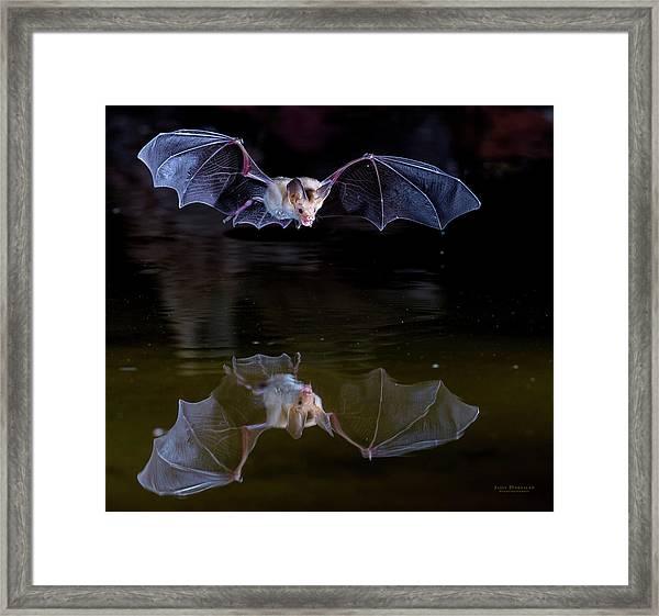 Bat Flying Over Pond Framed Print