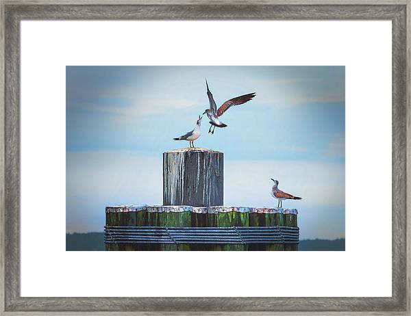 Battle Of The Gulls Framed Print