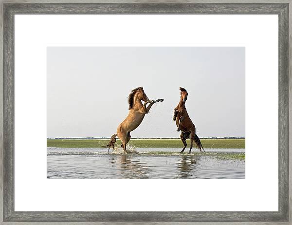 Battling Mustangs Framed Print