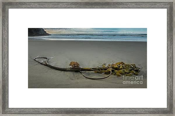 Beach Bull Kelp Laying Solo Framed Print