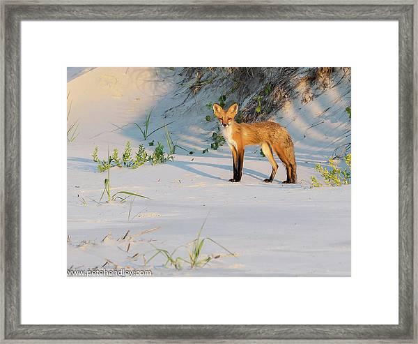 Beach Fox #3 Framed Print