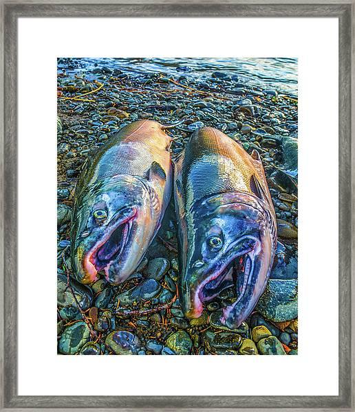 Beached Coho Framed Print