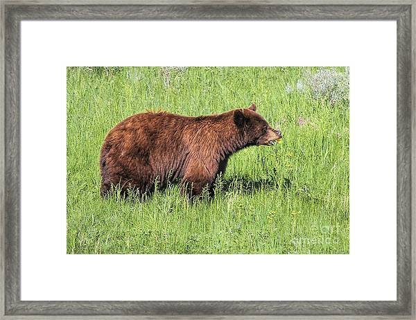 Bear Eating Daisies Framed Print