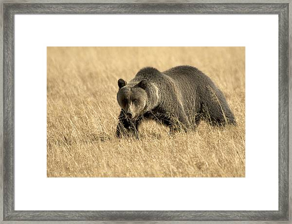 Bear On The Prowl Framed Print