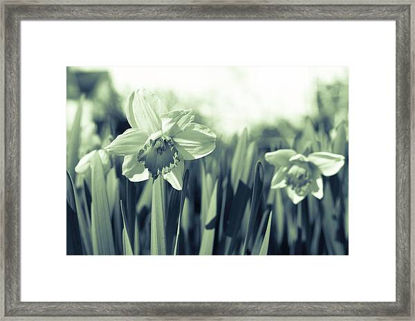 Beautiful Daffodil Framed Print