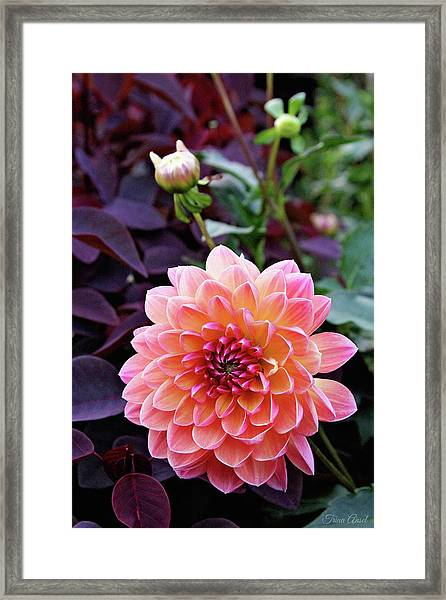 Beautiful Dahlia Framed Print