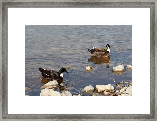 Beautiful Ducks Framed Print