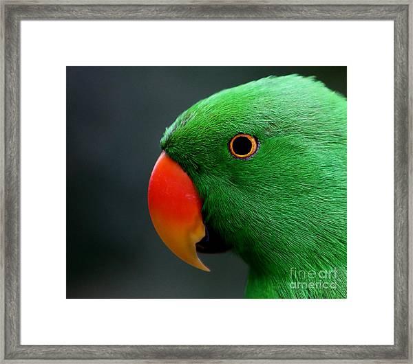Beautiful Eclectus Parrot Framed Print