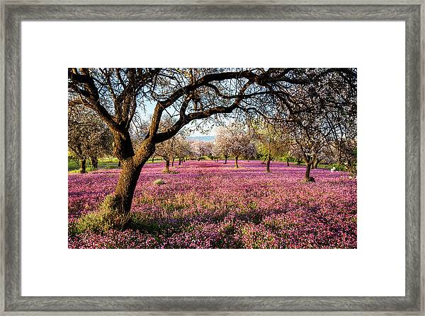 Beautiful Field With Purple Veil Of Flowers In The Ground. Framed Print