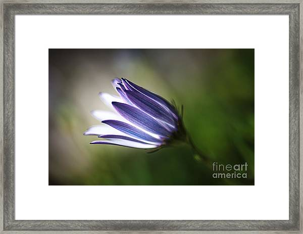 Beautiful Inner Glow Of The Daisy Framed Print