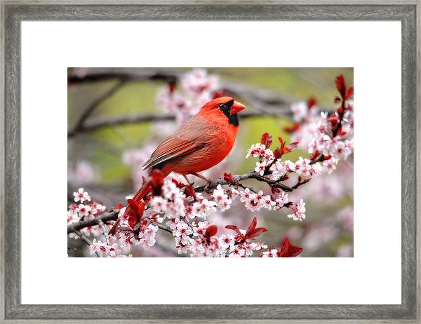 Beautiful Northern Cardinal Framed Print