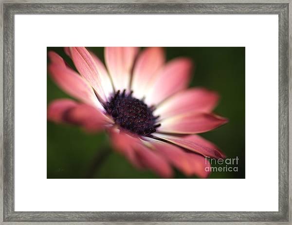 Beautiful Rich African Daisy Zion Red Flower Framed Print