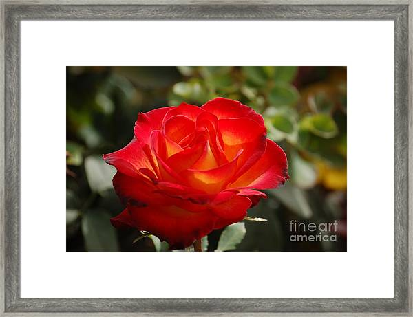 Beautiful Rose Framed Print