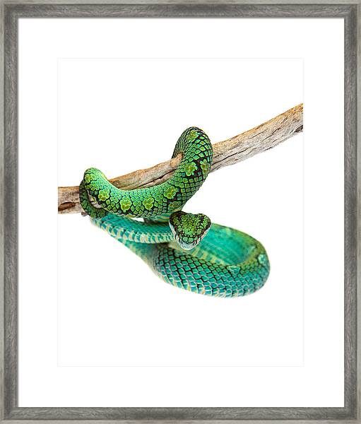 Beautiful Sri Lankan Palm Viper Framed Print