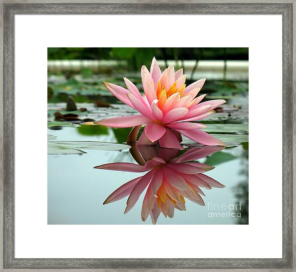 Beautiful Water Lily In A Pond Framed Print