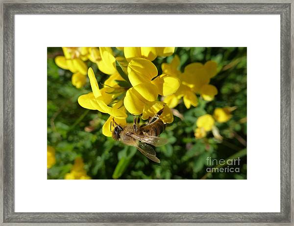 Bee And Broom In Bloom Framed Print
