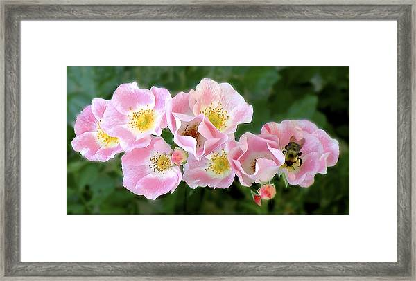 Bee And Roses Framed Print