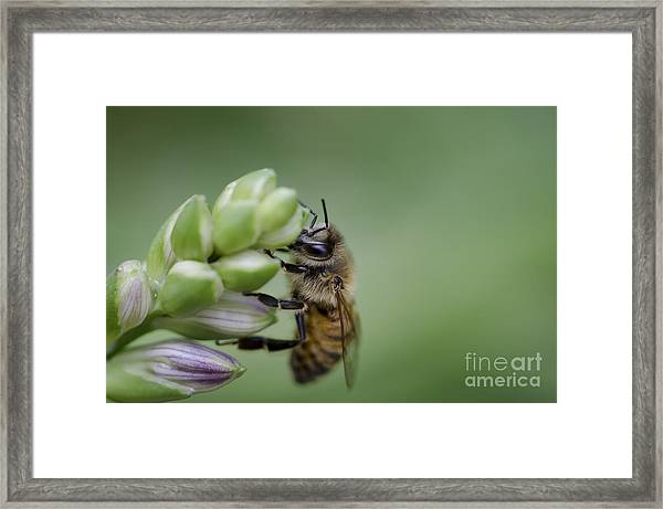 Busy Bee Framed Print