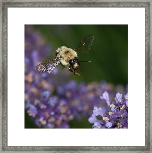 Bee Approaches Lavender Framed Print
