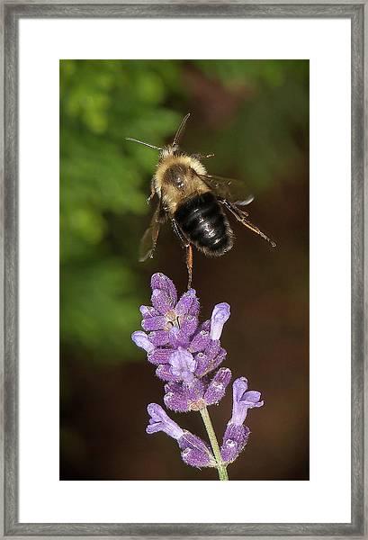 Bee Ballet Framed Print