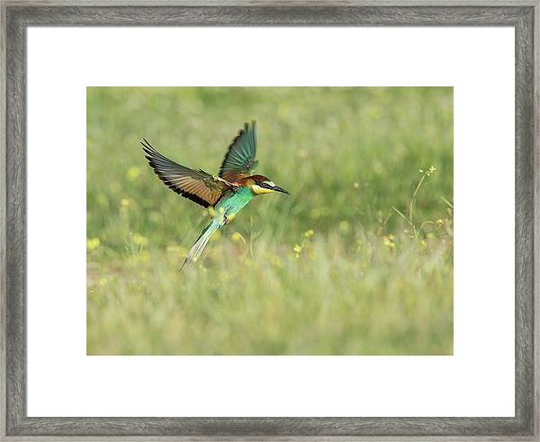 Bee-eater Hovering Framed Print
