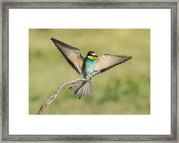 Bee-eater Landing Framed Print