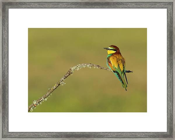 Bee-eater Portrait Framed Print