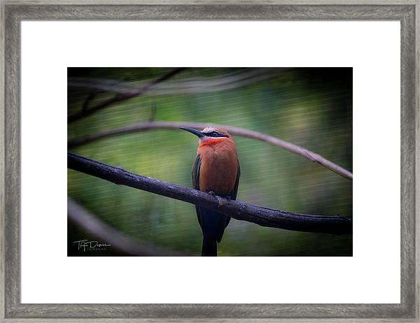 Bee-eater Framed Print
