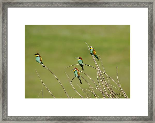Bee Eaters  Framed Print