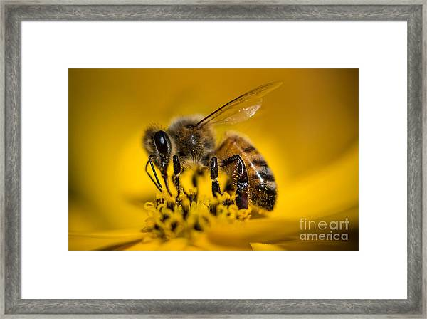 Bee Enjoys Collecting Pollen From Yellow Coreopsis Framed Print