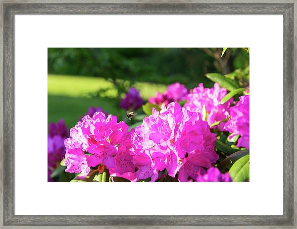 Framed Print featuring the photograph Bee Flying Over Catawba Rhododendron by D K Wall