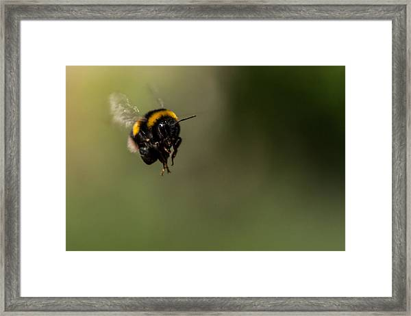 Bee Flying - View From Front Framed Print